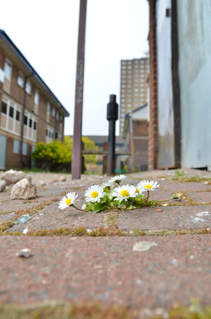 Left derelict. daisy's push through. Nature finds a way.